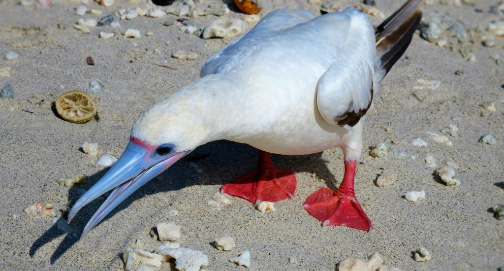 red-footed-boobie-genovesas