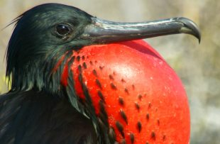 splendour-fregattbird-free-imagesfr